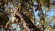 Long neck giraffe head of two giraffes Stock Footage