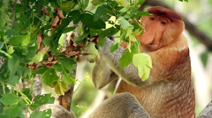 Endangered Proboscis Monkey eating leaves in the jungles of Borneo. - stock footage