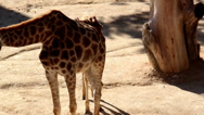 Family of two giraffes eating bush Stock Footage