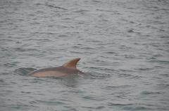 Dolphin Dorsal Fin - stock photo