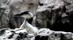A bird hiding over a rock Stock Footage