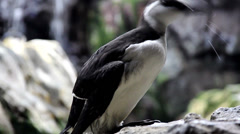 Black and white bird murre Stock Footage