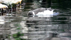 Common murre enjoying the pond Stock Footage