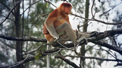 Endangered Proboscis Monkey resting in the jungles of Borneo. Stock Footage