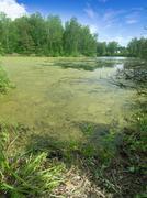 Pond with duckweed - stock photo