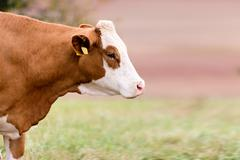 red cow - stock photo
