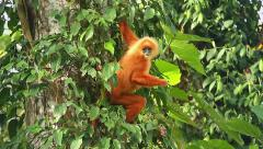 Rare Red Leaf Monkey feeding on leaves in the jungles of Borneo. Stock Footage