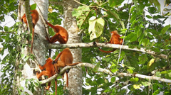 Rare Red Leaf Monkey family and baby in the jungles of Borneo. Stock Footage