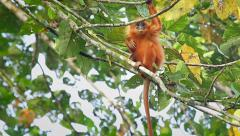 Rare Red Leaf Monkey baby scratching in the jungles of Borneo. Stock Footage