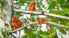 Rare Red Leaf Monkeys (young infants) in the jungles of Borneo. Stock Footage