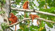 Stock Video Footage of Rare Red Leaf Monkeys (young infants) in the jungles of Borneo.
