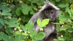 Silver Leaf Monkey or Langur feeding on leaves in the jungles of Borneo. Stock Footage