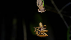A spider molts from its old exoskeleton and hangs from a single thread as it tur Stock Footage