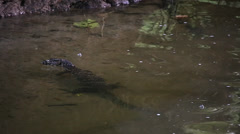 Asian Water Monitor Lizard swims in a river in Borneo. Stock Footage