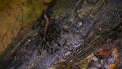 Ants attack a worm and transport it in the jungles of Borneo. Stock Footage