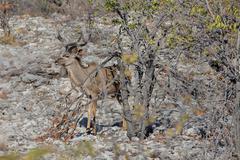 Kudu antelope Stock Photos