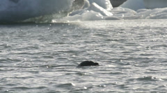 Swimming Seal Stock Footage