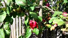 Apples On The Tree Stock Footage