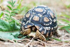 leopard tortoise in the defense position - stock photo