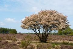 blossom tree in heather landscape - stock photo