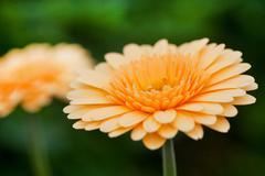 yellow gerber plants - stock photo