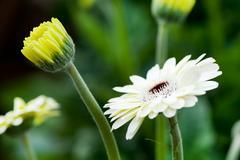 white gerber plants - stock photo