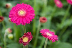 pink gerber plants - stock photo