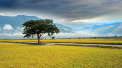 4K time lapse of paddy Rice Field for adv or others purpose use Stock Footage