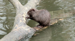 Muskrat sitting in a tree Stock Footage
