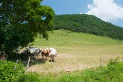 white charolais cattle in landscape - stock photo