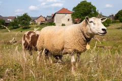 sheep at village wijlre in dutch limburg - stock photo