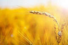 closeup of a ripe wheat with lens flare - stock photo
