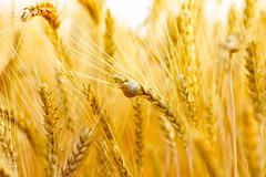 Closeup of a ripe wheat with a snail on it Stock Photos