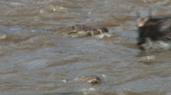 A baby wildebeest is taken by a crocodile while crossing mara river Stock Footage