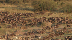 A group of wildebeests walk slowly in the morning light 2 Stock Footage