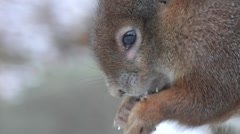 Red squirrel - sciurus vulgaris - eating a nut in winter. Closeup. Stock Footage