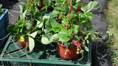 Strawberry seedling plants blooms in pots sold in market fair Stock Footage