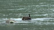 Stock Video Footage of BROWN BEAR PLAYS WITH STICK IN WATER