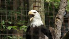 Bald eagle in cage yawns. Closeup. Stock Footage