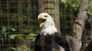 Stock Video Footage of Bald eagle in cage yawns. Closeup.