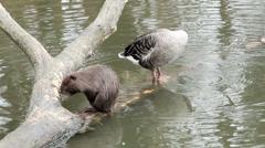 muskrat, duck sitting on a tree - stock footage