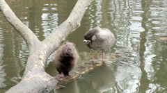 Muskrat and duck sitting on a tree Stock Footage
