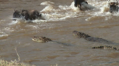 A young wildebeest strugles to free himself from the jaws of a crocodile, but - stock footage