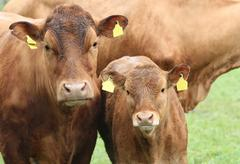 Brown cows, mother and kid - stock photo