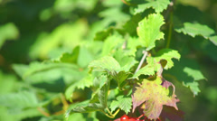 Guelder rose (Viburnum opulus) berries closeup Stock Footage