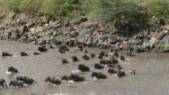 Wildebeests crossing mara river facing the camera 3 Stock Footage