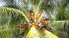Monkey pick up a Coconut nut from a tree Stock Footage