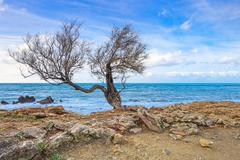 Tamarisk or tamarix tree, rock beach and ocean on background. Stock Photos