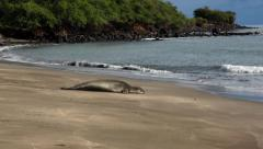 Monk Seal 01 of 02 Stock Footage
