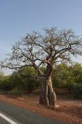 Stock Photo of baobab